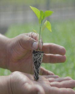 Planta de Pimentas