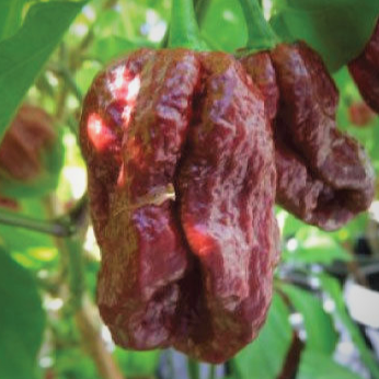 Hot Chili Pepper 7 Pot Douglah Chocolate