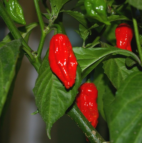 Naga Jolokia - Ghost Pepper
